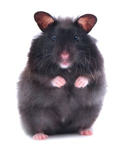 black teddy bear hamster - Google Search