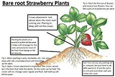 Don't be intimidated by bare root strawberries, they are a great way to not only save money but build a bigger & better strawberry bed!