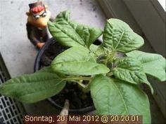 Nicht wenige Menschen grübeln bereits, an welchem Tag die Webcam-Sonnenblume wohl erblühen wird!