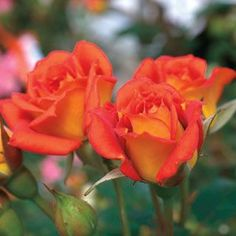 Boogie Woogie™ Miniature Rose Just the Right Size for Containers!