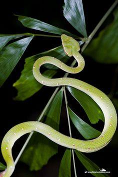 Wagler's Pit Viper #snakes #reptiles #topanimals