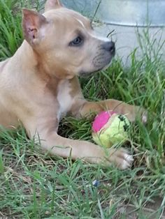 Pitbull Blue fawn so freaking cute!!!!!