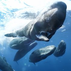 Underwater photographer Tony Wu found himself amidst a rare and enormous gathering of sperm whales; Blue Planet Ii, Epic Photos, Mundo Animal, Humpback Whale, Whale Sharks, Ocean Creatures, Killer Whales, Sea World, Underwater Photography