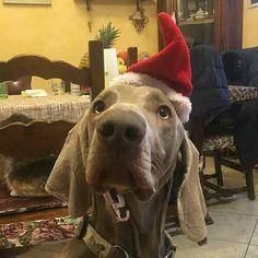 Buon Natale da @neverjoys  #BauSocial  Oh oh oh #buonnatale #cane #grace #weim #weimaraner #auguriatutti #dog #natale #christmas #instadog #dogstagram #doglovers #dogoftheday #dogofinstagram