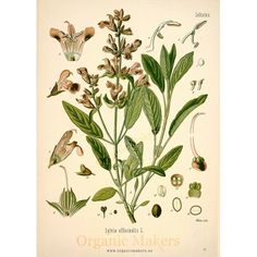 Name: Sage (Salvia officinalis) Description: *One of the best known culinary herbs *An evergreen plant: leaves can be taken all year lo. Salvia Officinalis, Botanical Drawings, Botanical Illustration, Botanical Prints, Healing Herbs, Medicinal Plants, Natural Herbs, Natural Healing, Vintage Printable