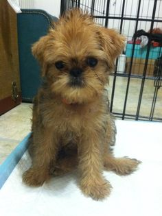 Baby Maeby; she is a beauty! So excited she's on NYC brussels griffon tumblr!
