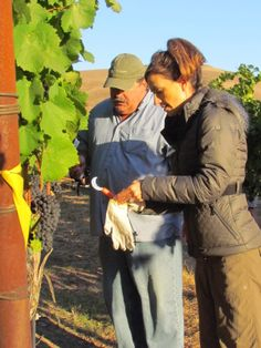 Have you ever tried your hands at harvesting? #wine #video Monique Soltani Wine Oh TV Harvest