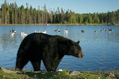 Zoo de Saint-Félicien Le Zoo, Zoos, Black Bear, Canada, The Originals, The Visitors, Vacation, Travel, Animaux