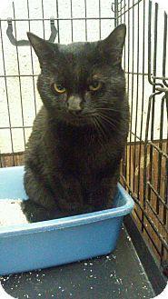 Bronx, NY - NEW BEGINNING ANIMAL RESCUE, NO KILL, Domestic Shorthair. Meet DANIEL, a cat for adoption. http://www.adoptapet.com/pet/13197179-bronx-new-york-cat
