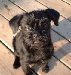 Affenpinscher Puppy Dog