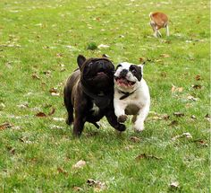 I love it when their jowls flap in the wind. Brindle French Bulldog, Baby Animals Pictures, Terrier Mix, Pet Stuff, Puppy Love, Doggies, Pugs, Boston Terrier, Cute Babies