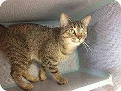 MISSY...Pittsburgh, PA - Domestic Mediumhair. Meet MISSY a Cat for Adoption.