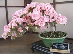 20PCS Cherry Bonsai Bonsai Tree Japanese New Blossoms Sakura