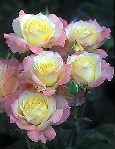 Rosas bicolor