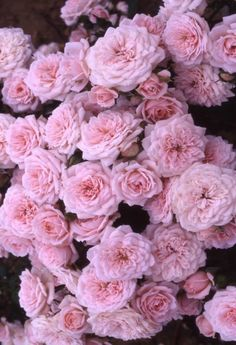 Tumblr flowers tumblr hintergruende tumblr backgrounds flower my favorite polyantha pink roses mightylinksfo