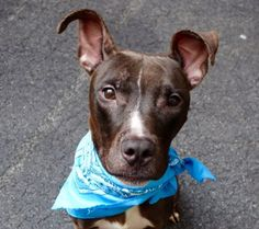 ♡ SAFE ♡  Manhattan Center BRUTUS – A1049444 NEUTERED MALE, BLACK / WHITE, PIT BULL / LABRADOR RETR, 6 mos OWNER SUR – ONHOLDHERE, HOLD FOR ID Reason TOO MANY P Intake condition UNSPECIFIE Intake Date 08/27/2015