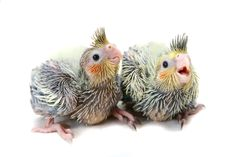 http://cdn2.bigcommerce.com/server2700/efbf3/product_images/uploaded_images/cockatiel-babies.jpgからの画像