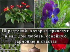 """10 растений, которые принесут в Ваш дом любовь.  1. Спатифиллум (известен еще как """"Женское счастье""""). Принеся это растение в дом, одинокие люди обязательно найдут свою вторую половинку. У молодых семейных пар, которые думают о ребенке, скоро появится пополнение. """"Женское счастье"""" всегда приносит в дом взаимопонимание и любовь.  2. Фиалка. В доме, где растет этот цветок, меньше ссорятся. Также многие считают этот цветок символом вечной любви.  3. Гибискус или китайская роза. Появление в доме…"""