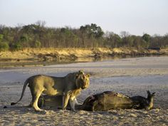 #zambia #wilderness #lion