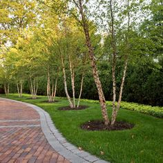 Landscape Design River Birch - easily exchanged for crepe myrtles in zone 9