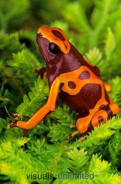Bumble bee arrow frog or yellow-banded poison dart frog )Dendrobates leucomelas), native to Peru.