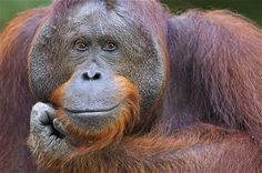 A portrait of Gary,  a 16-year-old Bornean orangutan at Camp Leakey, Tanjung Puting National Park, Central Kalimantan, Borneo, Indonesia