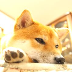 an Oki dog!