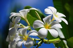 Frangipani or Temple Flower or Plumeria, the famous exotic flower.. by Jenny Rainbow, via Flickr