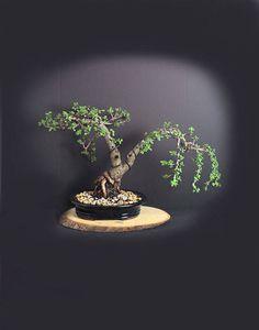 "Mature Jade bonsai tree Fall'17 ""Natives of Africa"" collection by LiveBonsaiTree by LiveBonsaiTree on Etsy"