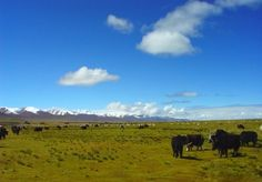 Namtso (纳木措, Namucuo), a 'Heavenly Lake' in Tibet, is set at 4700m and frozen over from November to May. Namtso is famous for its amazing beauty, crystal blue water, clear sky with snow capped mountains towering behind and yaks grazing on the plains around the tents. Namtso Lake is the symbol of goodliness and happiness. In every Tibetan year of sheep, thousands of pilgrims come to walk clockwise along the Namtso Lake in order to receive the blessing of the gods.