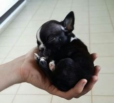 Boston Terrier!!!  Aweee....this is one of the dogs we are seriously considering to get.  I LOVE IT!!  <3 :)