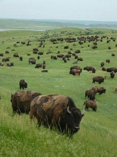 Caprock Canyons State Park and Trailway, Texas' Official State Bison Herd, direct descendants of the bison of the Southern Plains.