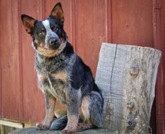 Dallas is an adoptable Australian Cattle Dog (Blue Heeler) Dog in Manhattan, KS. Dallas is a 5-6   month old blue heeler. He is a sweet and cuddly puppy who is looking for a forever home. He loves to pl...  Click on his pic to learn more about this great pup.
