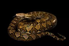 Python swallows woman whole! Development in their native habitat might be influencing their behavior, but humans have a history of conflict with snakes. Amphibians, Reptiles, Naples Zoo, Animals And Pets, Cute Animals, Reticulated Python, Burmese Python, All About Snakes, Largest Snake