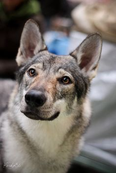 Czechoslovakian wolfdog - I am obsessed with dogs that look like wolves... I really want a dog that looks like a wolf or a wolf-dog....