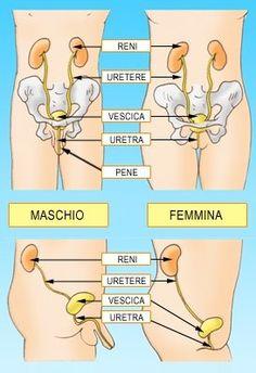 -Cistite  La cistite è una infezione del tratto urinario. Colpisce principalmente le donne ma anche gli uomini. Il tratto urinario è costituito da uretra, vescica, ureteri e reni.