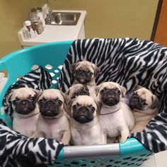 Basket of Babies 👶🏻💕✨ Cute Baby Pugs, Cute Dogs And Puppies, Cute Little Animals, Cute Funny Animals, Silly Dogs, Funny Dogs, Baby Animals Pictures, Pugs And Kisses, Pug Love