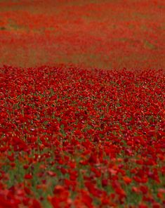 Sea of Poppies par Mark Dargan sur Fivehundredpx Flowers Nature, Red Flowers, Beautiful Landscapes, Beautiful Images, Sea Of Poppies, France Love, Enjoy The Ride, Amazing Flowers, Amazing Nature
