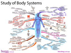 The Study of Body Systems Mind Map created by Tony Buzan. The Study of body systems Mind Map will help you to explore the major systems of our body's. The Mind Map breaks down areas such as sensory, muscular, skeletal, reproductive, endocrine, excretory and digestive systems. In addition the mind map covers the respiratory, cardiovascular and immune systems.
