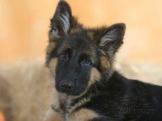 Domestic Dog, German Shepherd Alsatian Juvenile. 5 Months Old ...