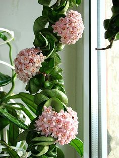 Pink waxy flowers, twisted leaves on Hindu Rope Plant