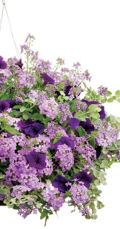 Lovely silver-white foliage of licorice plant creates a stunning backdrop for varying shades of purple flowers in this hanging basket recipe for sun. Petite blue-purple blooms of Bluebird nemesia add textural contrast to the larger smooth petals of Supertunia Royal Velvet petunia. Hang in a sunny spot for gorgeous color all summer long.