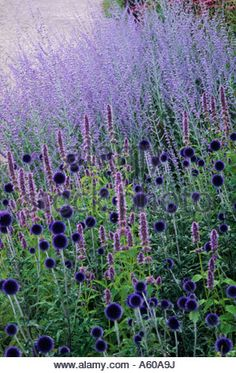 Echinops 'Veitch's Blue, Perovskia 'Blue Spire', Pensthorpe Millennium Garden, Norfolk, Blue, purple colour combination, plants,