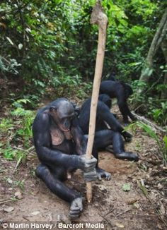 A family of bonobos forage for food together..using tools
