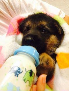 Liccul baby German shepherd