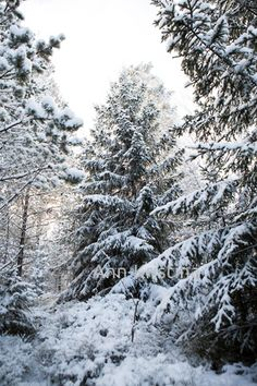 Ann-Kristina Al-Zalimi, kuusi, kuusipuut, metsä, forest, winter, snow, norwegian spruce, finland
