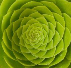 Aeonium mandala