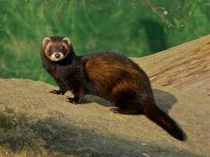British Wildlife Centre ~ Keeper's Blog The BWC is part of an independent studbook and breeding program for the polecat, along with many other centres, and have successfully bred them here for many years now with many of the kits being introduced to the wild.
