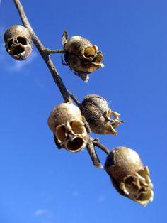 seed pods of the Aquilegia plant (columbine)--some really do this! seed pods of the Aquilegia plant Strange Flowers, Unusual Flowers, Rare Flowers, Amazing Flowers, Flowers Nature, Metal Flowers, Pretty Flowers, Weird Plants, Unusual Plants