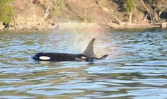 New Southern Resident Killer Whale Calf Spotted In Gulf Islands, B.C. (PHOTOS)  Dec. 30, 14. The worry now is if the mother has enough milk for calf.